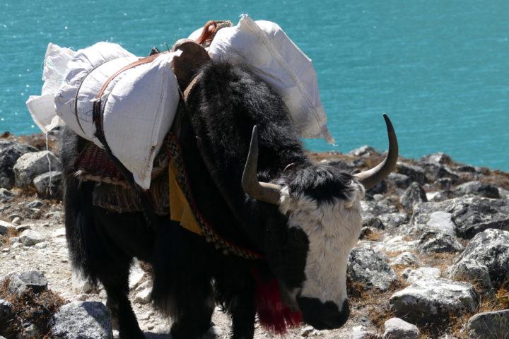 le Yak moyen de transport de marchandise courant dans les vallées