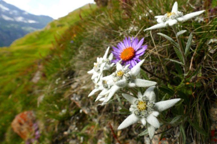 Edelweiss tour du Mont-Blanc