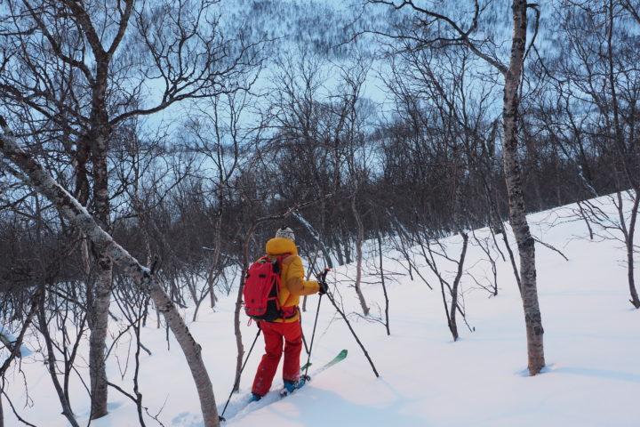 forêt de bouleaux aux abord de Tromso